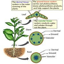 plant meristematic dermal ground tissue vascular tissue - Google Search