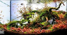 Favourites: tank by Enrico Fortuna Great design and original selection of plants. Above all, that red carpet developing on the forreground. Aquarium Stand, Aquarium Setup, Nature Aquarium, Tropical Aquarium, Aquarium Design, Planted Aquarium, Aquarium Fish, Aquascaping, Shrimp Tank