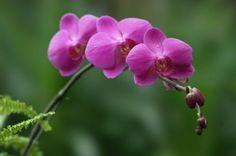 Cara Merawat Bunga Anggrek agar Cepat Berbunga