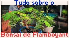 BONSAI DE FLAMBOYAT  E SEUS SEGREDOS: TUDO SOBRE - Bonsai Curso #71 (4K...