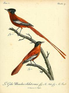 Histoire naturelle des oiseaux d'Afrique t.3 A Paris :Chez J.J. Fuchs, libraire ...,7, 1799-1808
