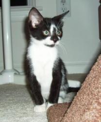 Adopt a Homeless Cat | Timmy Camper | Domestic Short Hair Tuxedo | Furrever Friends Rescue & Volunteers, Inc.