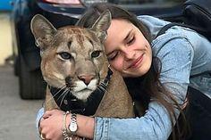 動物園から保護されたオオヤマネコは今では立派な飼い猫である Panther, Animals, Animales, Animaux, Animal, Animais, Dieren