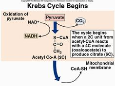 Cellular Respiration Urea Cycle, Cell Respiration, Teaching Biology, Biochemistry, Botany, The Unit, Note, Education