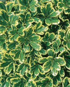 Mojo® Pittosporum  Pittosporum tobira Mojo® PP#16188  Mojo is a tough, evergreen shrub, with dense variegated foliage and orange blossom scented blooms. Great for hedges and foundation plantings, excellent salt tolerance makes Mojo perfect for planting along the coast, too.  3'x3'