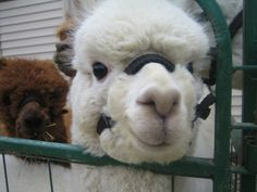 Alpaca Business Plan We love our alpacas and love taking care of them. To see more stunning alpacas and their finished products visit http://sacredmountainfarms.com.