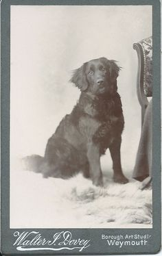 c.1890 cdv of beautiful black retriever sitting on fur throw. Photo by Walter J. Dovey, Borough Art Studio, Weymouth. From bendale collection