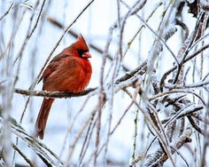 Cardinal in the Willow III © Jon Woodhams. Prints and cards available here: http://fineartamerica.com/featured/cardinal-in-the-willow-iii-jon-woodhams.html and here: http://www.artflakes.com/en/products/cardinal-in-the-willow-iii