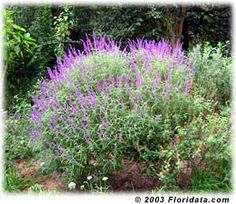 Mexican Bush Sage - Continous Blooms, easy to grow, Butterflies love it, Full Sun, Zone 9 - Plant with Butterfly Bush and Russian Sage for a stunning butterfly paradise