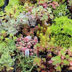 A nice full 2.5in square pot planted with one or more varieties of Sedum. $2.95