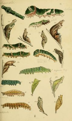 A catalogue of the lepidopterous insects in the...