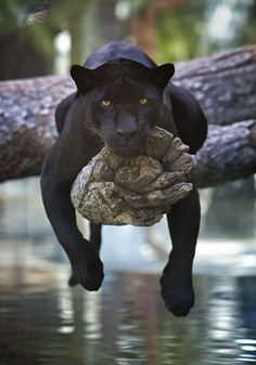 Top 10 Photos of Big Cats - Top Inspired Black Jaguar (Panthera Onca) This i. - Top 10 Photos of Big Cats – Top Inspired Black Jaguar (Panthera Onca) This image has get 158 - Baby Animals Pictures, Big Animals, Cute Animal Pictures, Nature Animals, Cute Baby Animals, Animals And Pets, Funny Animals, Animals Planet, Black Animals