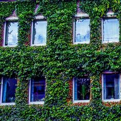 'Windows In Wonderland' August 13 2016  das (pl: die Fenster) window(s)  das OR der Efeu (only sgl)  ivy  Is it a house with ivy on it or is it ivy with a house beneath the surface? I guess it's a matter of perspective! :D  #vlogdave #youtuber #photography #fotografie #photographer #ivy #efeu #building #beautiful #awesome #urbanexploration #urban#exploring #explorer #nature #natur #germany #deutschland #lifeingermany #design #architecture #instagood#instadaily #neverstopexploring #house…