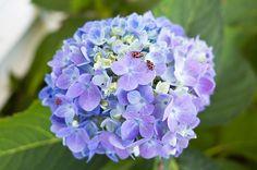 Best Flowering Shade Plants - Hello Farmhouse kinds of hydrangeas
