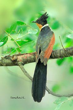 Chestnut-winged cuckoo. SE Asia