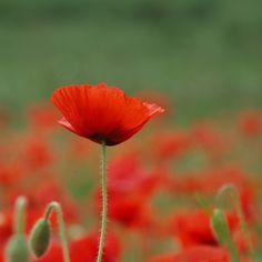 Poppies by Paula Bailey, via Flickr