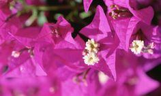 Las buganvillas son plantas trepadoras y, a lo largo de sus tallos, aparecen flores durante varios meses. Es amante del sol y existe una gran variedad de colores entre las