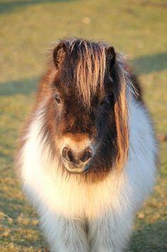 Hugging a Shetland Pony is on my bucket list