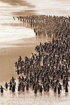 Gentoo penguins heading to sea, Pygoscelis papua, Falkland Islands