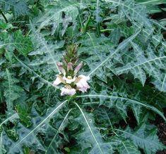 Daftar Tanaman Obat Lengkap Beserta Gambar dan Khasiatnya - BibitBunga.com Herbal Leaves, Acanthus, Medicinal Plants, Health Education, Herbalism, Remedies, Health Fitness, Herbs, Drinks