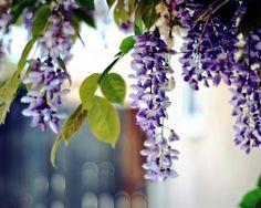 purple acacia - Google-keresés