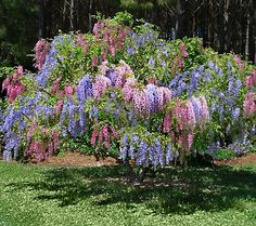 Blue and pink wisteria tree. Would look fantastic in the yard!