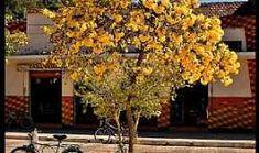 Passa Quatro - Gonçalves-MG-Ipê amarelo no centro da cidade-Foto:AntonioVidalphotography