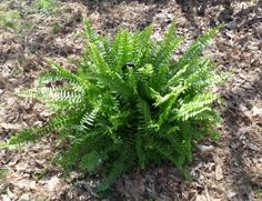 Overwintering Boston Ferns – What To Do With Boston Ferns In Winter