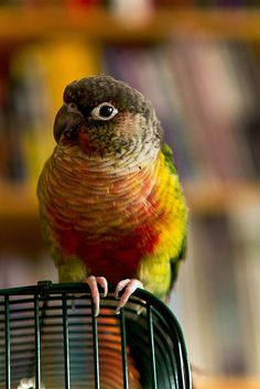 Conure ~ I would love to have a bird like this... I enjoy going into Pet-Smart and talkin' to the birds.