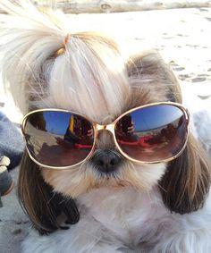 Lea - the shih tzu Love to be stylish :)