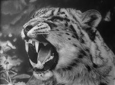 Snow Leopard Snarl - Reworked by Dhekalia on DeviantArt
