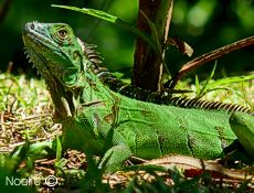 Green Iguana,  Poor Man's Paradise