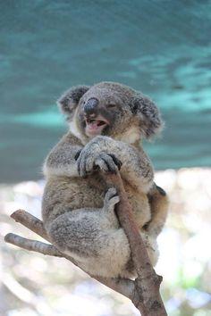 Felicidades, koalita. Así me gusta sentir a los animales: ¡bliss!