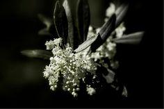 Inizio della fioritura dell'olivo.