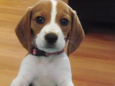 Precious is her name, being a beagle is her game! So cute!!!