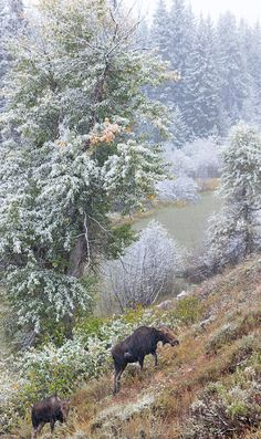 A couple moose during an early snowfall in the Tetons. Moose Pictures, Animal Pictures, Grand Teton National Park, National Parks, Deer Family, Rose Photography, All Gods Creatures, Reno, Winter Scenes