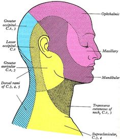1000 Images About Cranial Nerves And Dermatomes On Pinterest