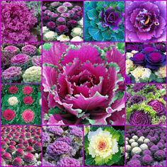 gorgeous cabbage and kale plant pics via The French Tangerine blog.