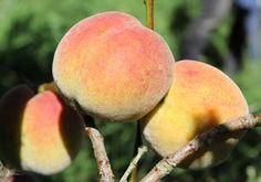 Peach and Necatrine - POD easy edible gardening