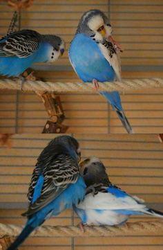 Wellensittich - papagallino - budgie - parakeet - cocorita