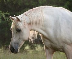 Coral Forest - Palomino Morgan horse mare