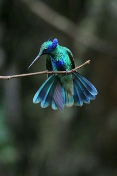 Violet Eared Hummingbird.  I don't know who the photographer is.  :(