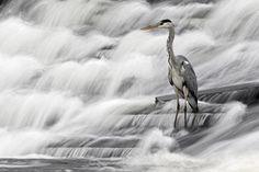 Grey Heron fishing in Annacotty waterfall Ireland  Photograph  - Grey Heron fishing in Annacotty waterfall Ireland  Fine Art Print