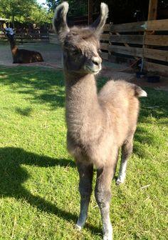 New baby llama addition!