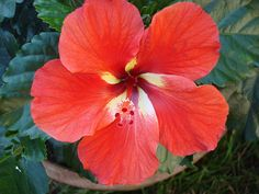 hibiscus. hope mine grow this year!