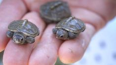 Baby Turtles are the cutest thing ever. (x-post /r/TurtleFacts) - Imgur