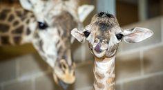 Masai giraffe newborn at the Houston Zoo; via Zooborns.com