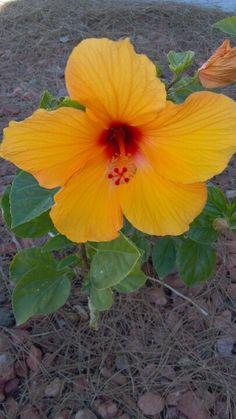Hibiscus AZ