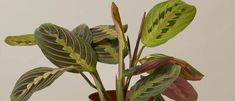 How to care for Maranta   Plant Care Articles & How Tos – The Sill Types Of Houseplants, Types Of Plants, Pencil Plant, Peperomia Plant, Calathea, Prayer Plant, Arrowhead Plant, Birds Of Paradise Plant, Chinese Money Plant