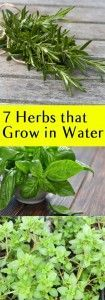 7+Herbs+that+Grow+in+Water you can also see our gardening tips in http://doctorgardening.com